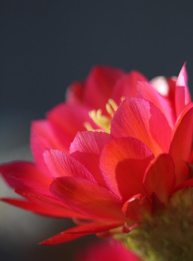 #flower #cactus flower#redflower