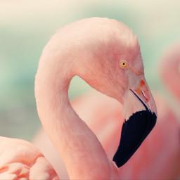 freetoedit pink pastelcolor flamingo bird