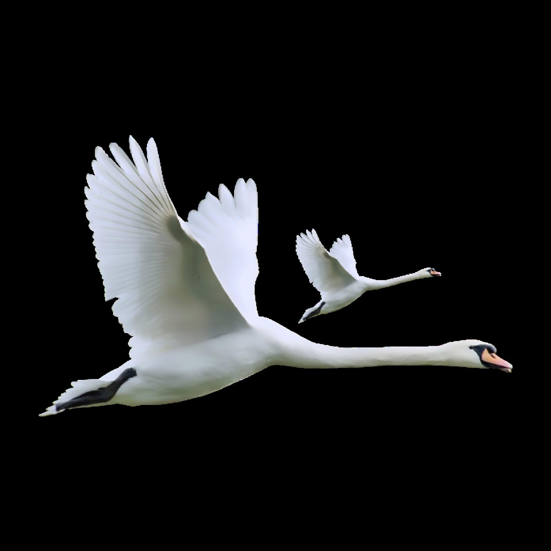 гиф летящие лебеди на прозрачном фоне десантниками