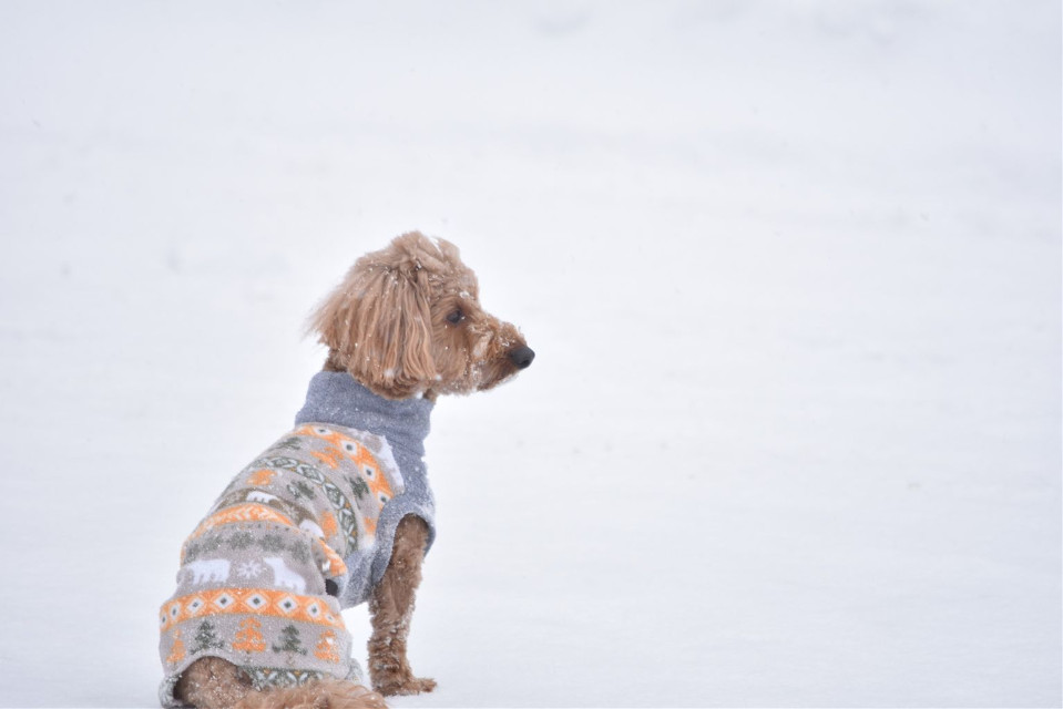 There's nothing better than an adorable puppy in a warm sweater! Special thanks to @ibukihara for keeping this puppy warm this winter! Share the love by adding your own touch to this pic or share your own! #Puppy #Dog #Adorable #Cute #Snowy #Snow #Winter #FreeToEdit