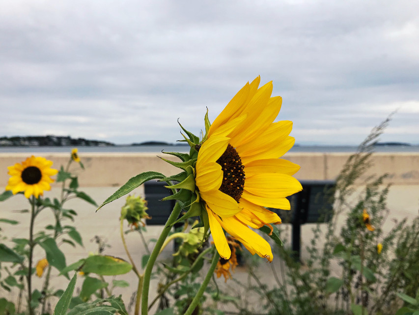 #freetoedit #beach #sunflowers