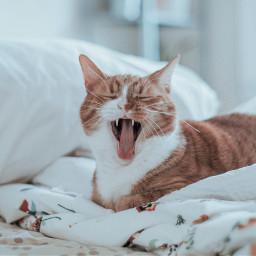 freetoedit cat pet animals furry