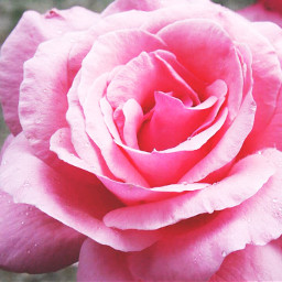rose nature summer flower beautiful