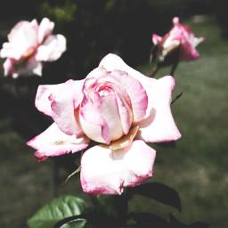 rose nature beautiful summer