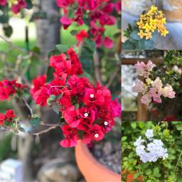 pcflowers flowers bugambilias plumbago kalanchoe