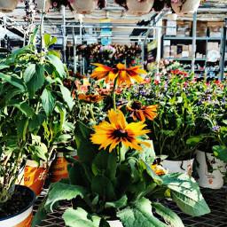 garden flowers dasies plants flowerpots