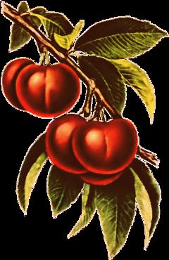 sccherries cherries freetoedit