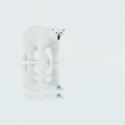 polar polarbear bear freetoedit