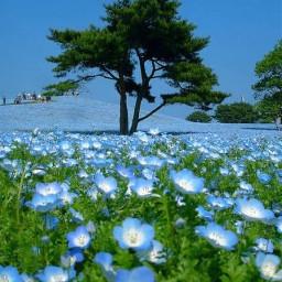 beautyofnature blueskys tree blueflowers💙 blueflowers