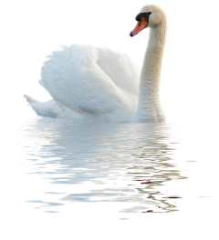 ftestickers swan bird sea lake freetoedit