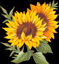 sunflower flower ftestickers freetoedit