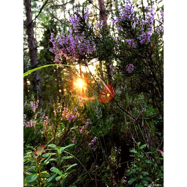 Sunset and heathers #nature #naturelovers #naturesbeauty #sunset #heathers #beautiful #landscape