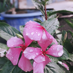 freetoedit garaniumflowers indonesia