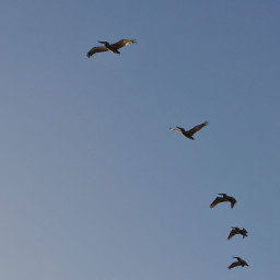 pcbirds birds