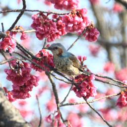 freetoedit japan nature spring bird