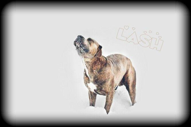 Lash my 💖💖💖  #lash #dog #snow #dog #petsandanimals #pets & animals #photography #presacanario #presa