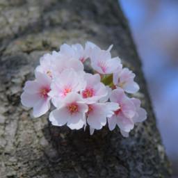 freetoedit japan nature cherryblossoms spring