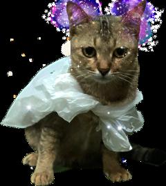 cat catlover catsofpicsart freetoedit