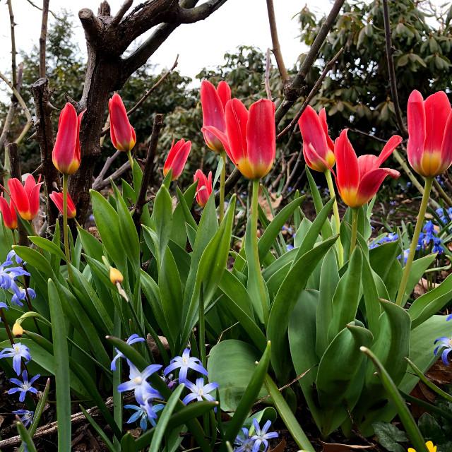 #freetoedit #spring #flowers #tulips #nature