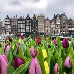flowerart oileffect tulip tulips amsterdam freetoedit