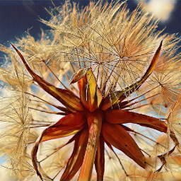 mniszek wildflower dzikiekwiaty polishphotography nature