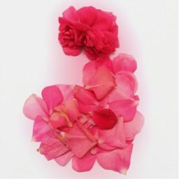 freetoedit rose springflowers flower