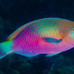 parrotfish tropicalfish underwater colorful neon