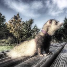 pccutepets cutepets ferret