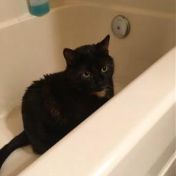 pccutepets cutepets freetoedit cat cats