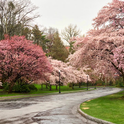 freetoedit blossoms rain trees spring