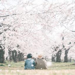 sakura cherryblossom japan photography dreamy
