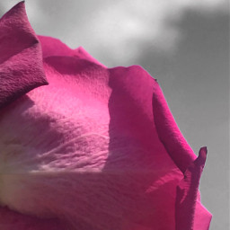 freetoedit flower pink rose nature