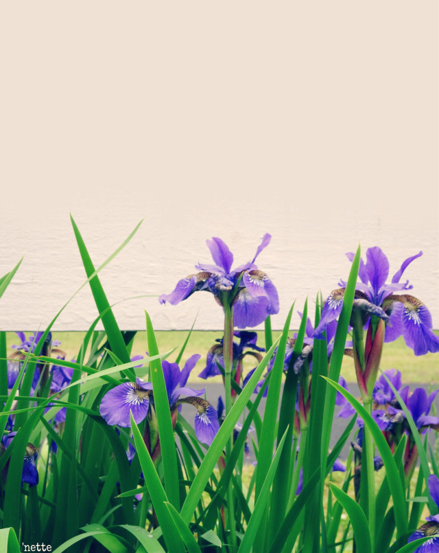#freetoedit #irises #myoriginalphoto