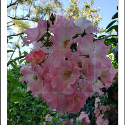 flowerphotography naturelovers naturephotography rosegarden rosespink