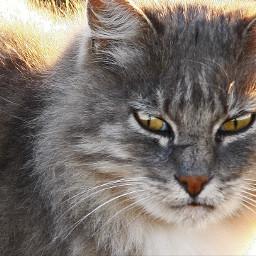 cat wildcat