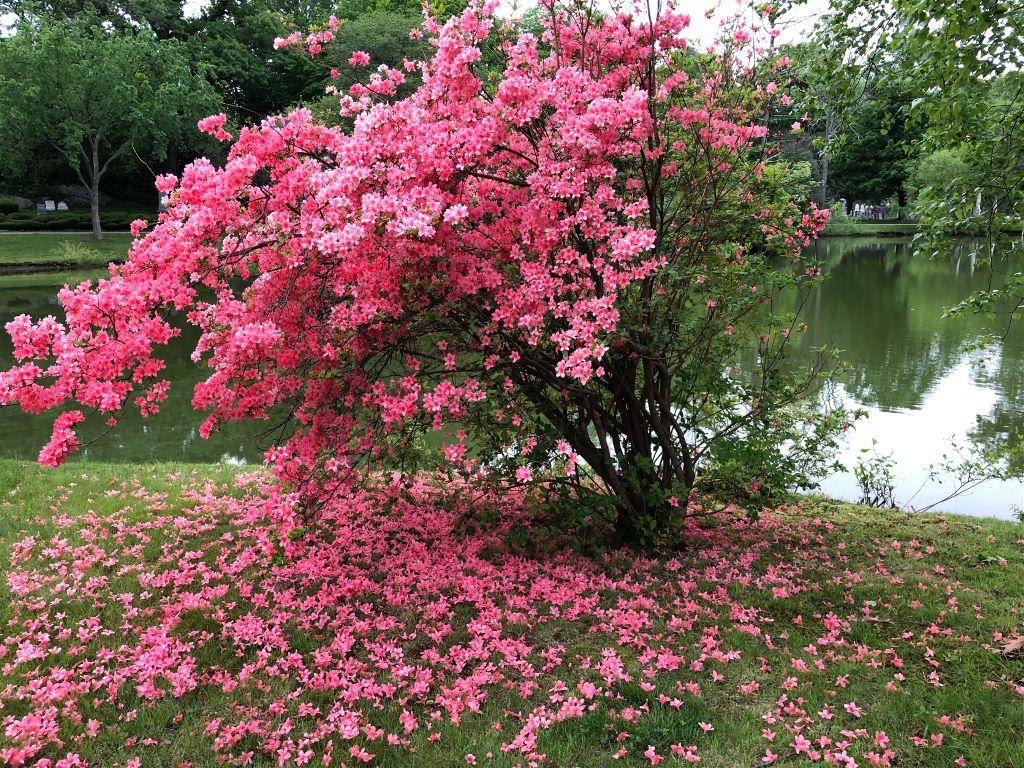 #freetoedit #pink #pinkandgreen nature #spring #seasons #reflection