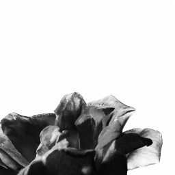 freetoedit blackandwhite petals rose delicateflower