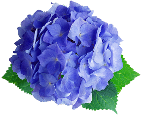 hydrangea blue green real flower freetoedit