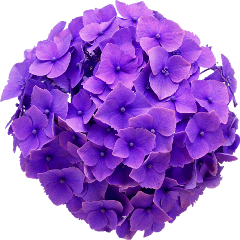 hydrangea real flower purple cute