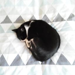 pet cat catlove freetoedit