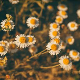 freetoedit dailyinspiration daisy daisyflower yellow pcyellow