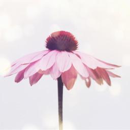 ircpinkflower pinkflower freetoedit