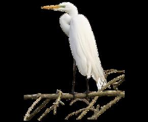 bird crane egret freetoedit