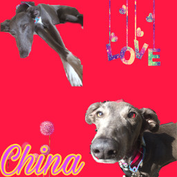 adorable sighthounds lurchers longnose