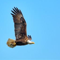 freetoedit eagle bird sky fly
