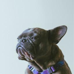 freetoedit dog cute puppy french