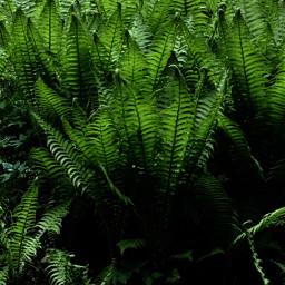 freetoedit farn fern greenlove nature