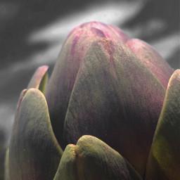 freetoedit nature vegetables artichoke petals