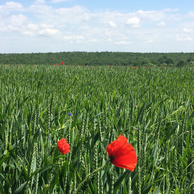 #freetoedit #photography #nature #field #flowers #wheat #ukraine