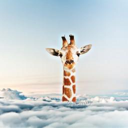giraffa jiraffe clouds nuvole freetoedit